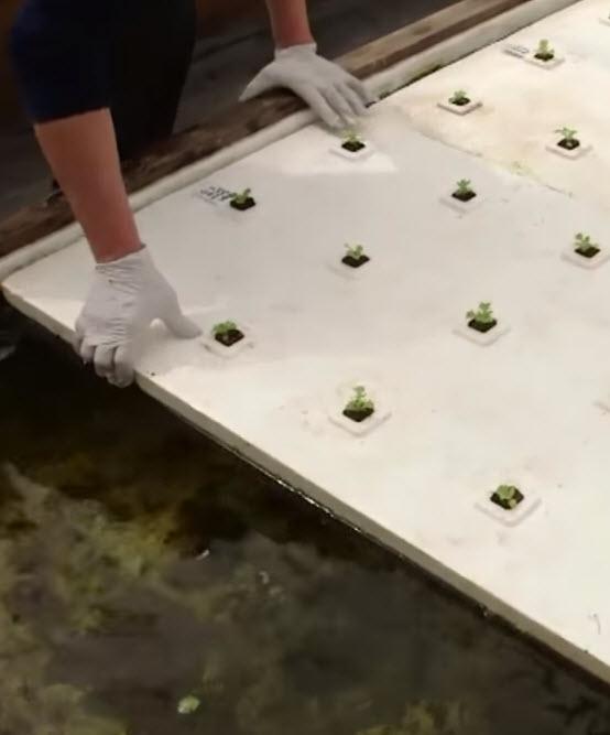 Lettuce_rafts_aquaponics.jpg