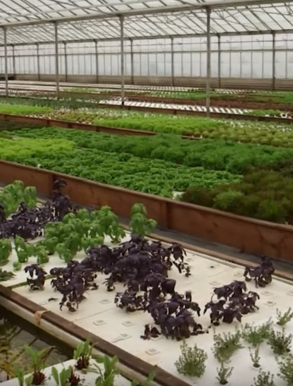 lettuce_rafts_aquaculture.jpg