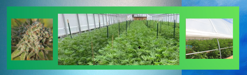 SolaWrap 420 for a Cannabis Greenhouse